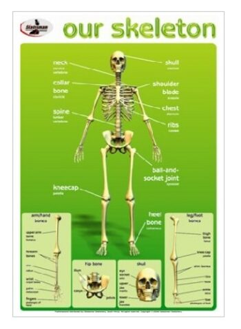 Our Skeleton Write and Wipe Educational Poster